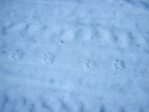 cougar tracks in the snow