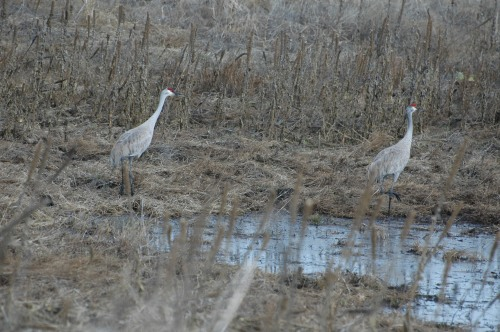 Sandhill cranes - the closest shot we could get!