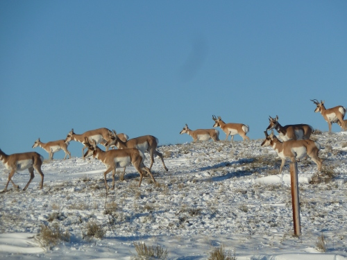 antelope south of Cody, WY