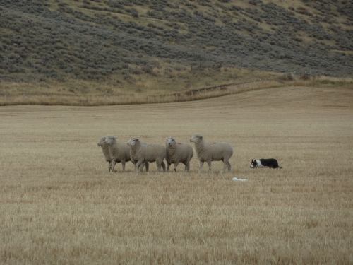 a hard working sheepdog