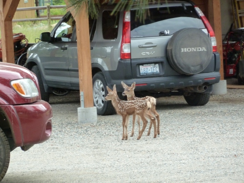 fawns 3